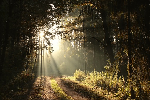The rising sun falls into the autumn forest in foggy weather.