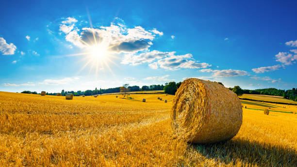 Rural scene in summertime Landscape in summer with hay bales on a field and blue sky with bright sun in the background hay stock pictures, royalty-free photos & images