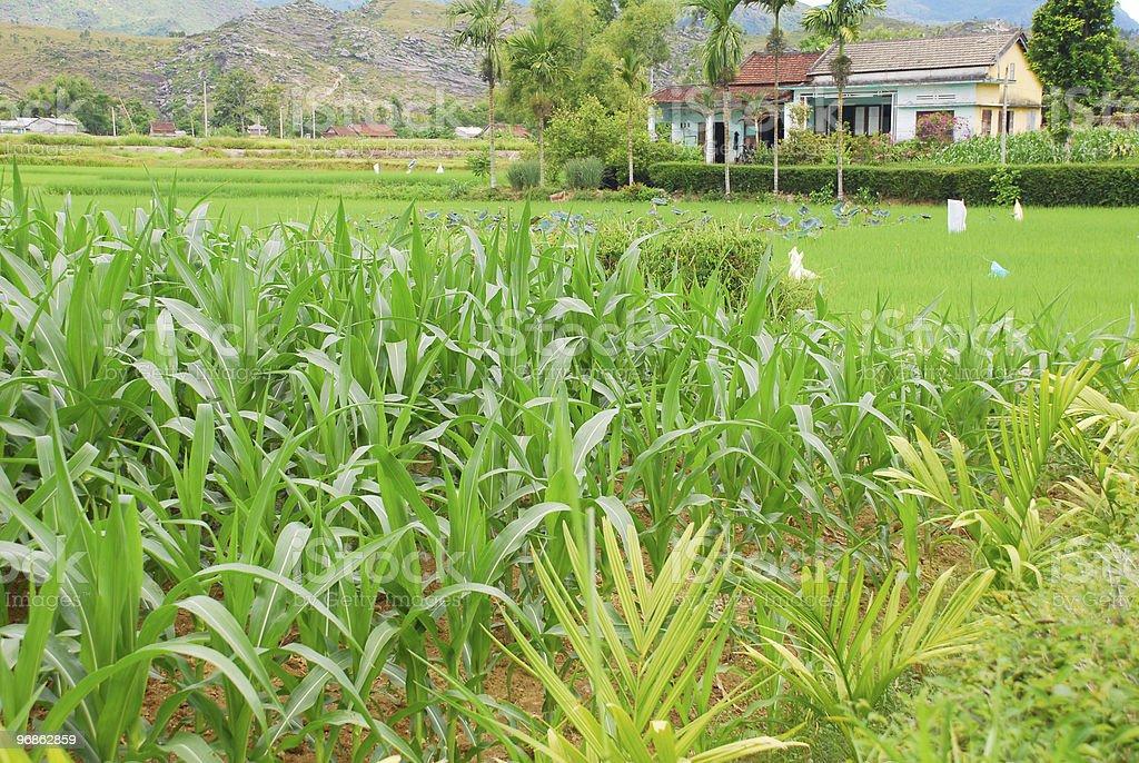 Mais und Reis Felder in Vietnam Lizenzfreies stock-foto