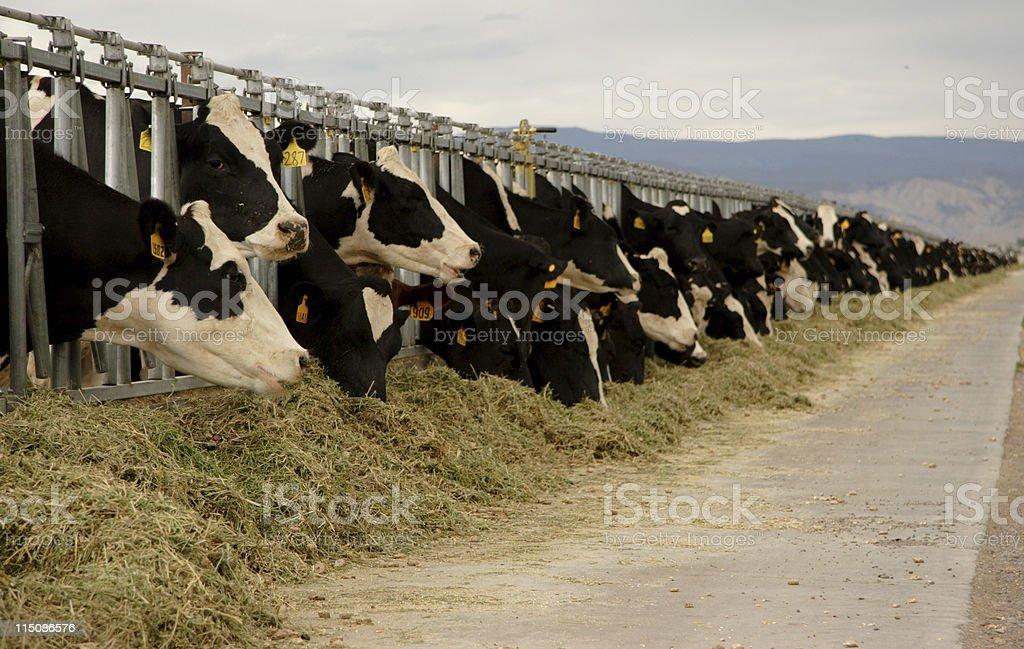 rural scenes dairy cows royalty-free stock photo