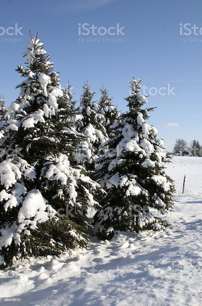 Rural enneigé arbres à feuilles persistantes photo libre de droits