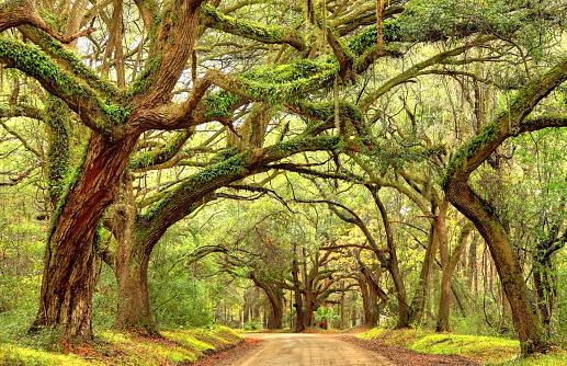 Giant oak trees draped with spanish moss line a scenic road in the South Carolina lowcountry on Edisto Island near Charleston. Charleston is the oldest and second-largest city in the State of South Carolina. Charleston is known for its rich history, antebellum architecture, and distinguished restaurants
