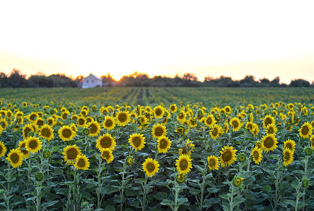 Rural sunset landscape with a golden sunflower field stock photo