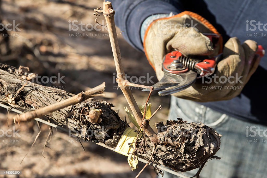 Rural worker pruning the grapevine stock photo