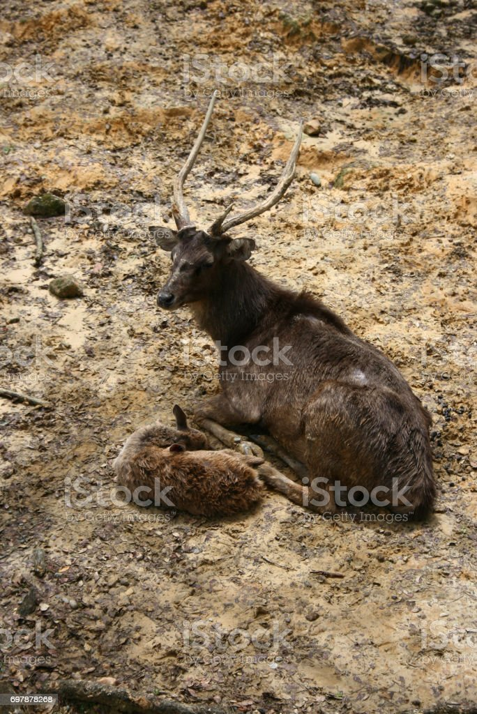 Rusa deer, a native deer in Indonesia stock photo