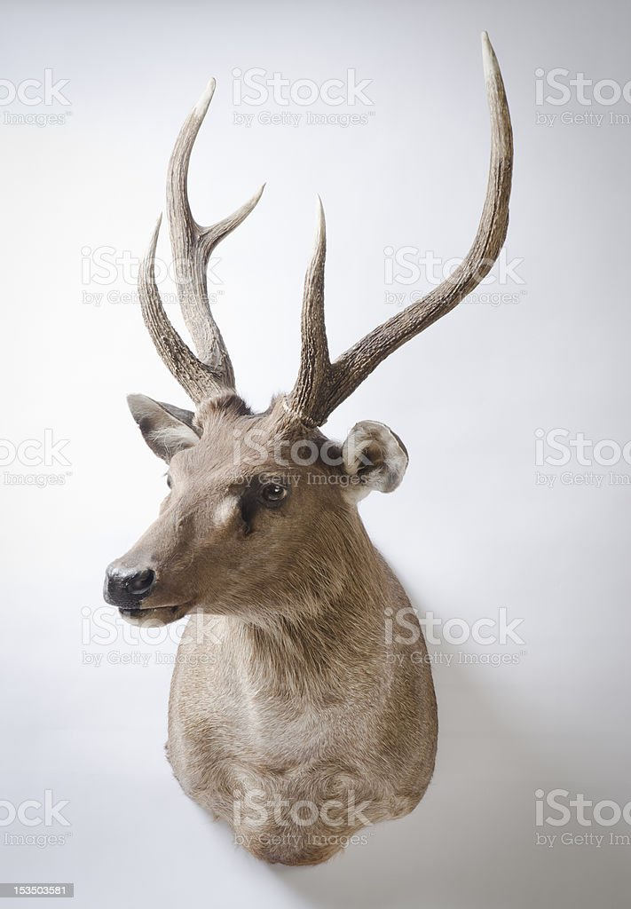 Rusa Deer Taxidermy Mount stock photo