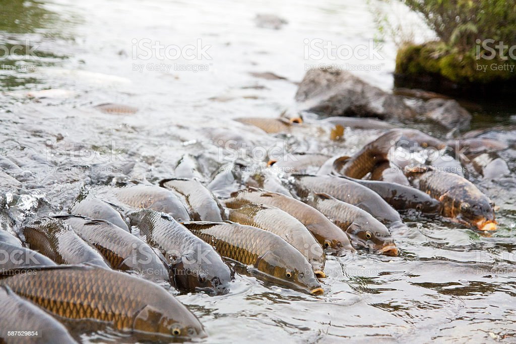 Rush crowded of carp stock photo