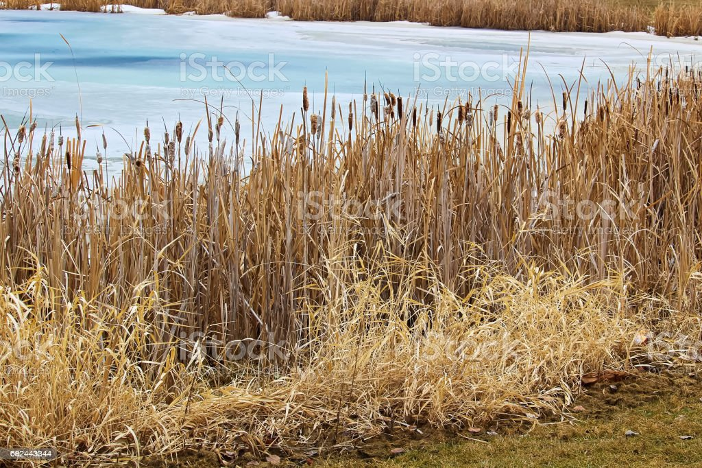 Rushes along a pond bank in spring royalty-free stock photo