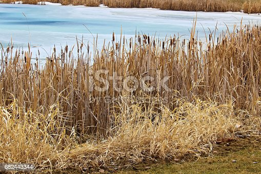 Rushes Along A Pond Bank In Spring Stock Photo & More Pictures of Alberta