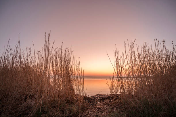 Rushes by a lake in the sunrise stock photo