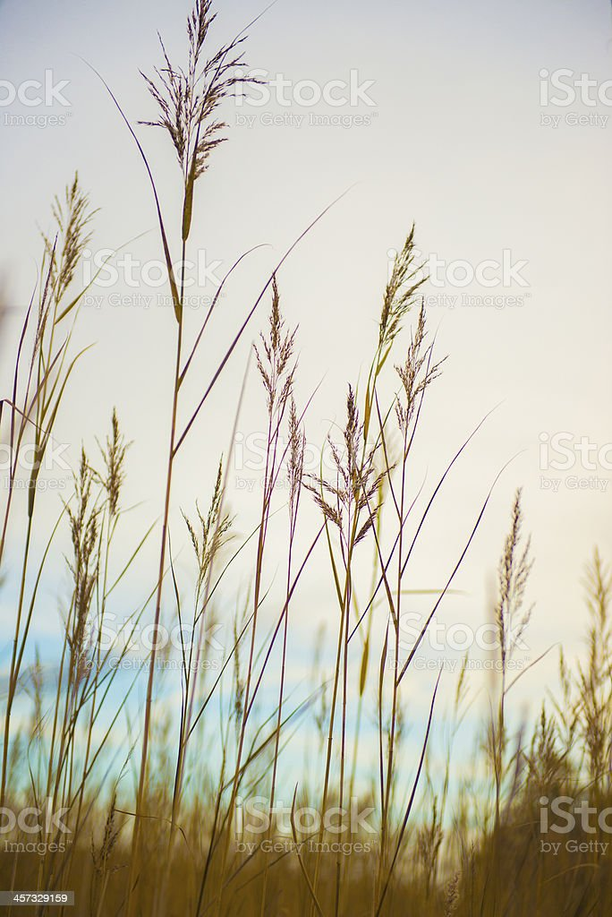 rushes in a lake royalty-free stock photo