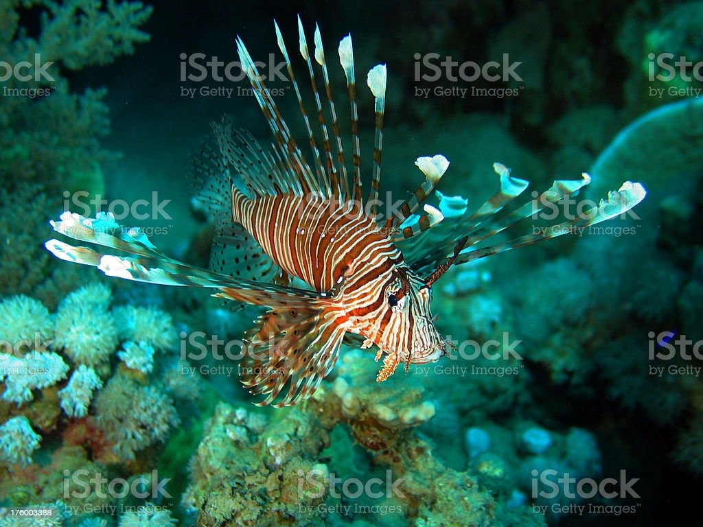 Russell´s lionfish royalty-free stock photo
