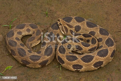 istock Russell's viper , Daboia russelii , Aarey Milk Colony , INDIA. 1060814552