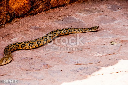 Russell's viper is a species of venomous snake in the family Viperidae, the family which includes the venomous Old World vipers