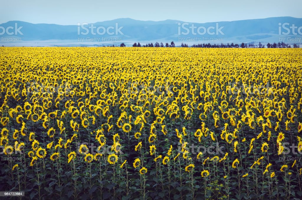 Russia altai, village, Field of sunflowers, field, summer, royalty-free stock photo