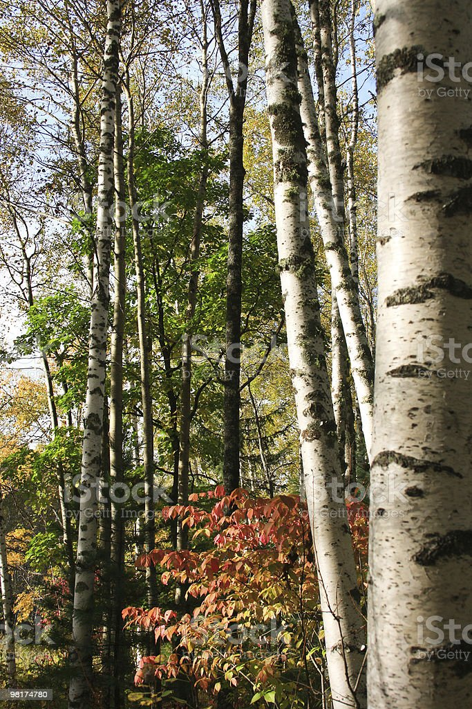 Russian birches royalty-free stock photo