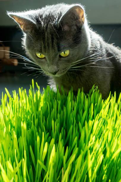 Russische blaue Rasse Katze essen Gras. – Foto