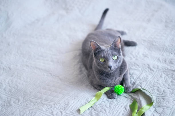 Russian blue cat is lying on a bed and playing with little rubber picture id1203613041?b=1&k=6&m=1203613041&s=612x612&w=0&h=pw8jffhjvkhqlowuc o ldqvm2oo4i3isdnrzz6k3uo=
