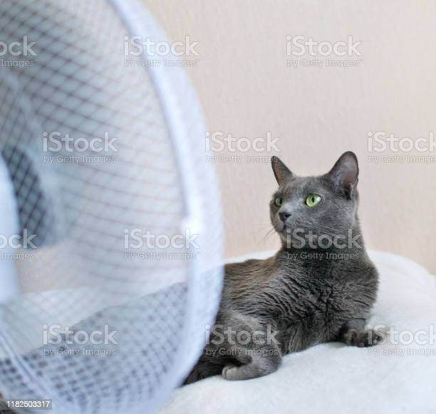 Russian blue cat is lying on the bed in front of ventilator picture id1182503317?b=1&k=6&m=1182503317&s=612x612&h=deteeedyh7bq77vow0aaji6anb 7q3kwhpysbsww9a4=