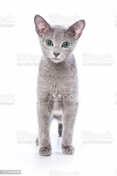 Russian Blue Cat Kitten Stock Photo Download Image Now Istock