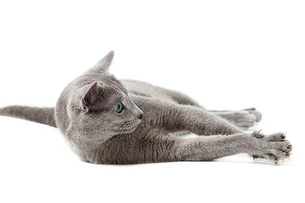 Russian blue cat on white picture id177296771?b=1&k=6&m=177296771&s=612x612&w=0&h=96dts k rwrzjt54zejlhu4tbymddbu45fxj6ydieoy=