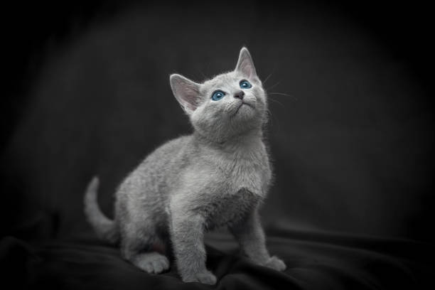 Russian blue cat picture id1007477692?b=1&k=6&m=1007477692&s=612x612&w=0&h=c5zf2ftu1dutzffp6fp2zs4cdz83xut1 oiyrsejp9y=