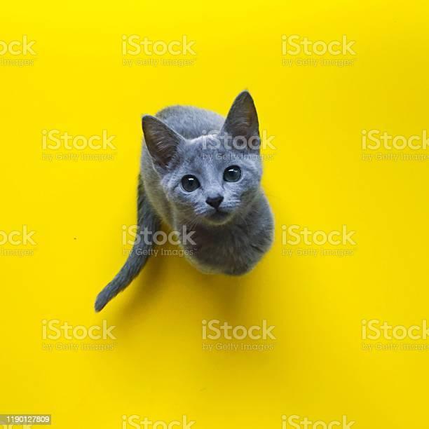 Russian blue cat picture id1190127809?b=1&k=6&m=1190127809&s=612x612&h=r09cuetwnnu qadlojxbv3jntjfqmvu2i1sb53ncgbg=