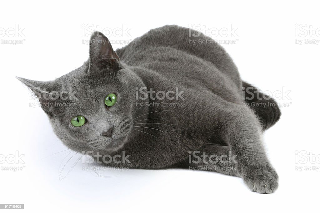 Russian Blue Cat Stock Photo More Pictures Of Animal Istock