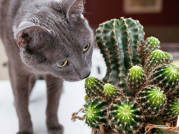 Russian blue cat playing with potted cactus at home picture id637938718?b=1&k=6&m=637938718&s=612x612&w=0&h=eny3esxv4fwrcqlowbbnogyt0vdsl1xjyighijuzjua=