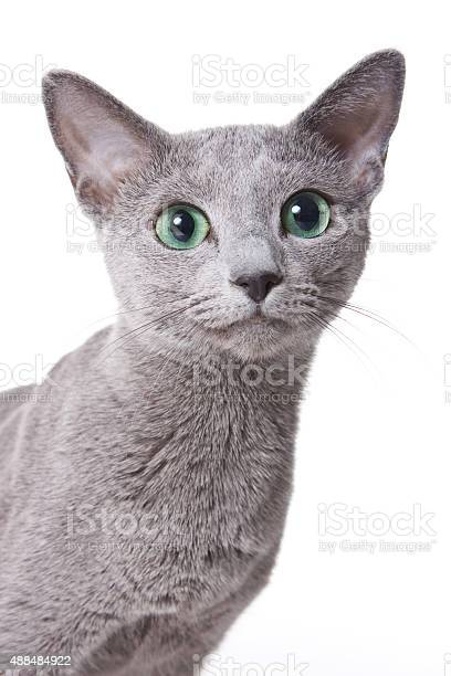 Russian blue cat portrait picture id488484922?b=1&k=6&m=488484922&s=612x612&h=7iq5tw6nfjkedisqvkkmh odf aupipbvbelaryansw=