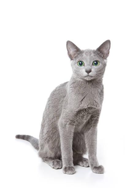 Russian blue cat with green eyes picture id858511824?b=1&k=6&m=858511824&s=612x612&w=0&h=p qjcenkejvasojsqyl6cuzgojv9kpy1b8soplvbfnk=