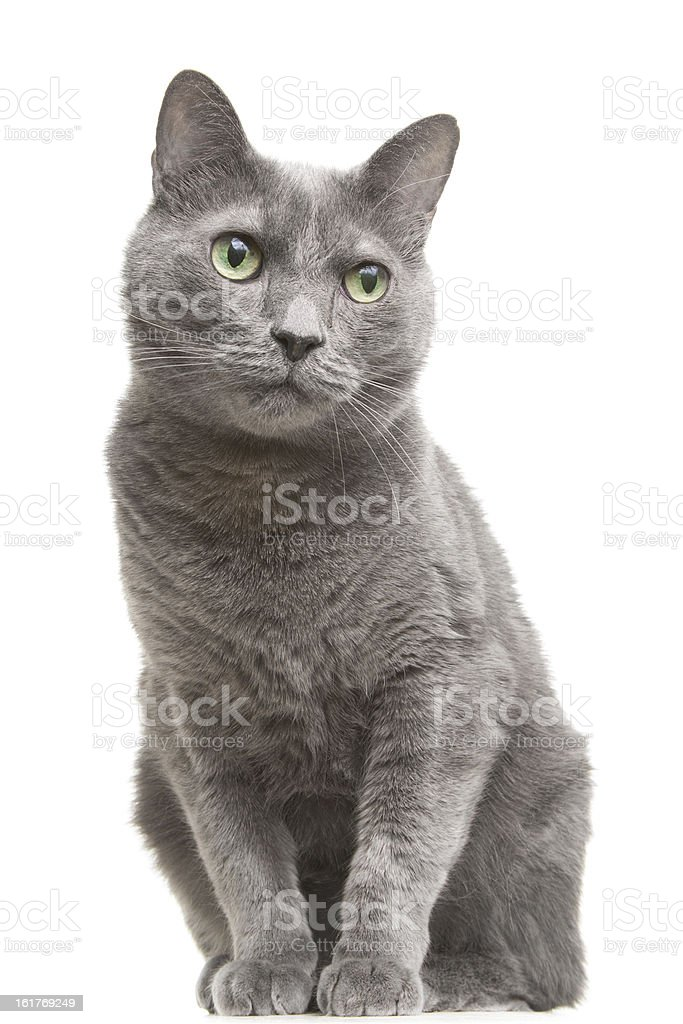 russian blue cat with green eyes sitting on isolated white royalty-free stock photo