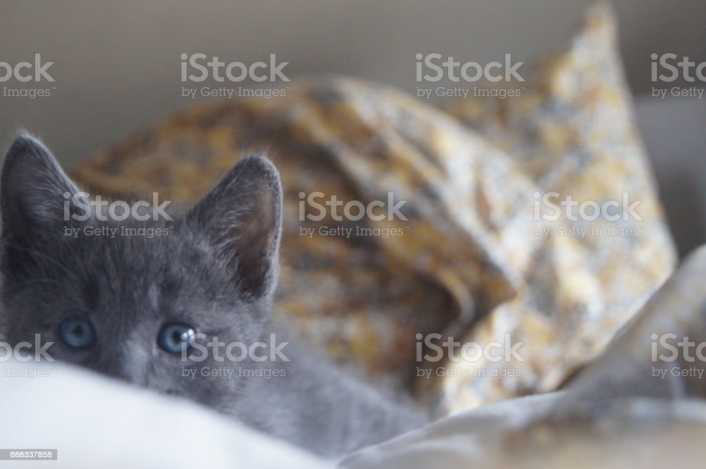 Russian Blue Kitten Hides on a Bed stock photo