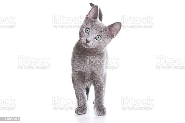 Russian blue kitten on white picture id151527975?b=1&k=6&m=151527975&s=612x612&h=qezepbkr2tzqdguey79stqug gpuc byyuusmf9 9is=