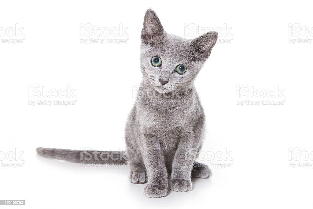 Russian blue kitten on white royalty-free stock photo