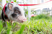A tiny pet Juliana pig on a leash in the grass.