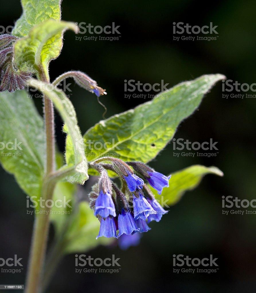 Russian Comfrey (Symphytum x uplandicum) royalty-free stock photo