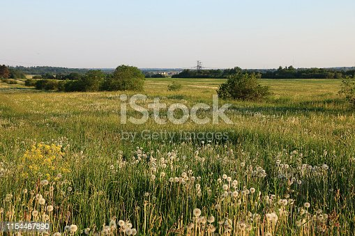 Russian field with dandelions in the summer early in the morning. Junior Russian fields in wildflowers
