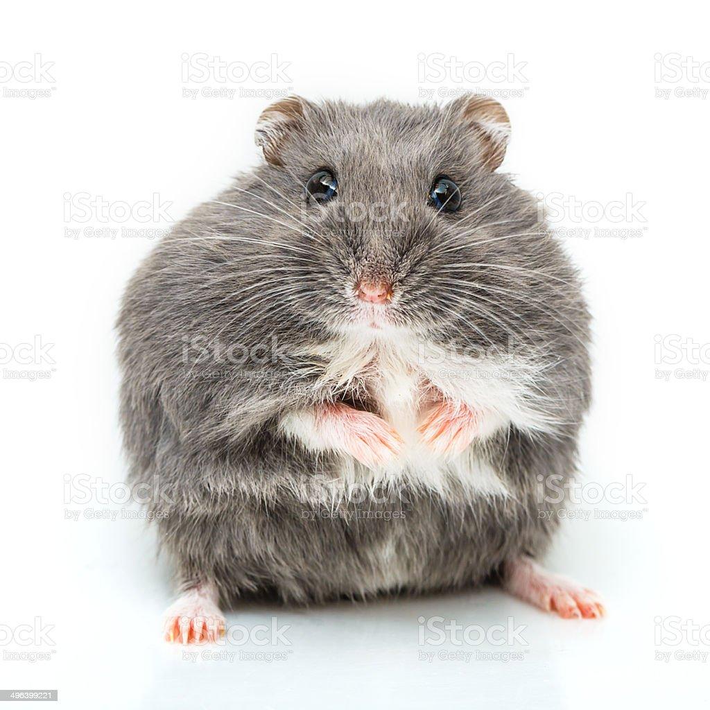 Russische hamster, isoliert auf weiss – Foto