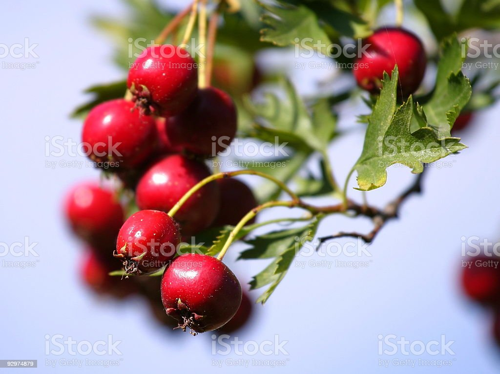 Russian hawthorn berries stock photo