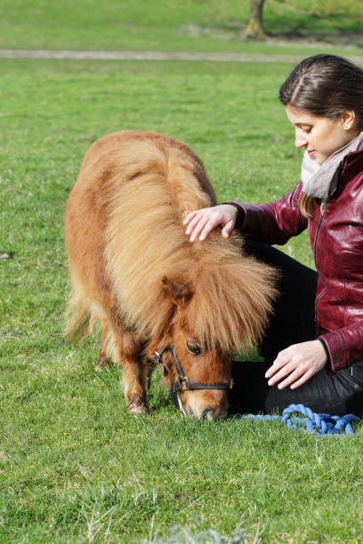 russian outdoor girl with tiny shetland pony - whiteway pony stock photos and pictures