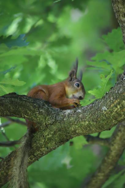 Russische rote Eichhörnchen – Foto