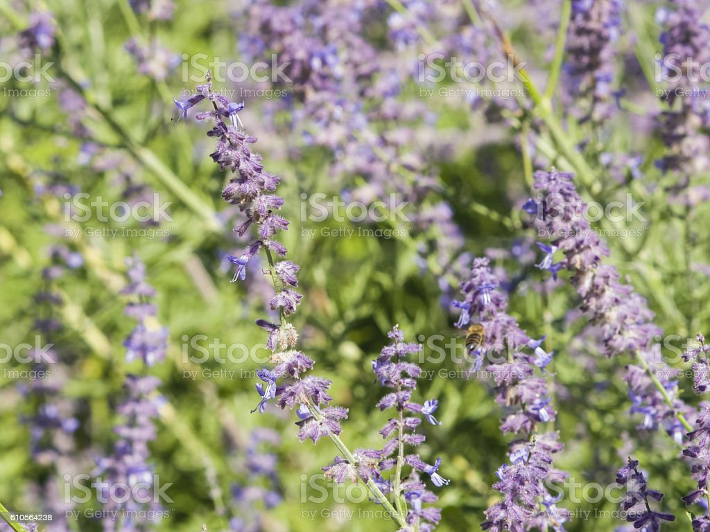Russian Sage, Perovskia atriplicifolia, flowers close-up, selective focus, shallow DOF stock photo