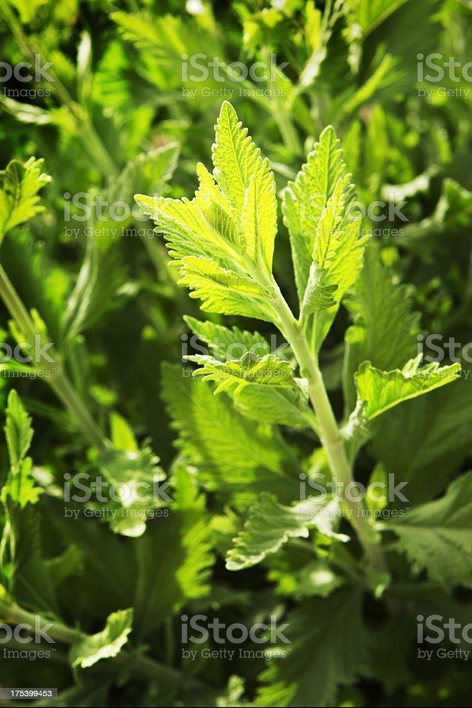 Russian Sage Perovskia atriplicifolia royalty-free stock photo