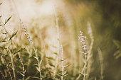 Russian Sage plants in Fall