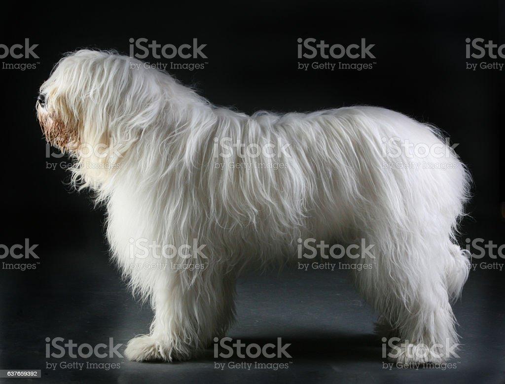 Russian sheepdog portrait stock photo