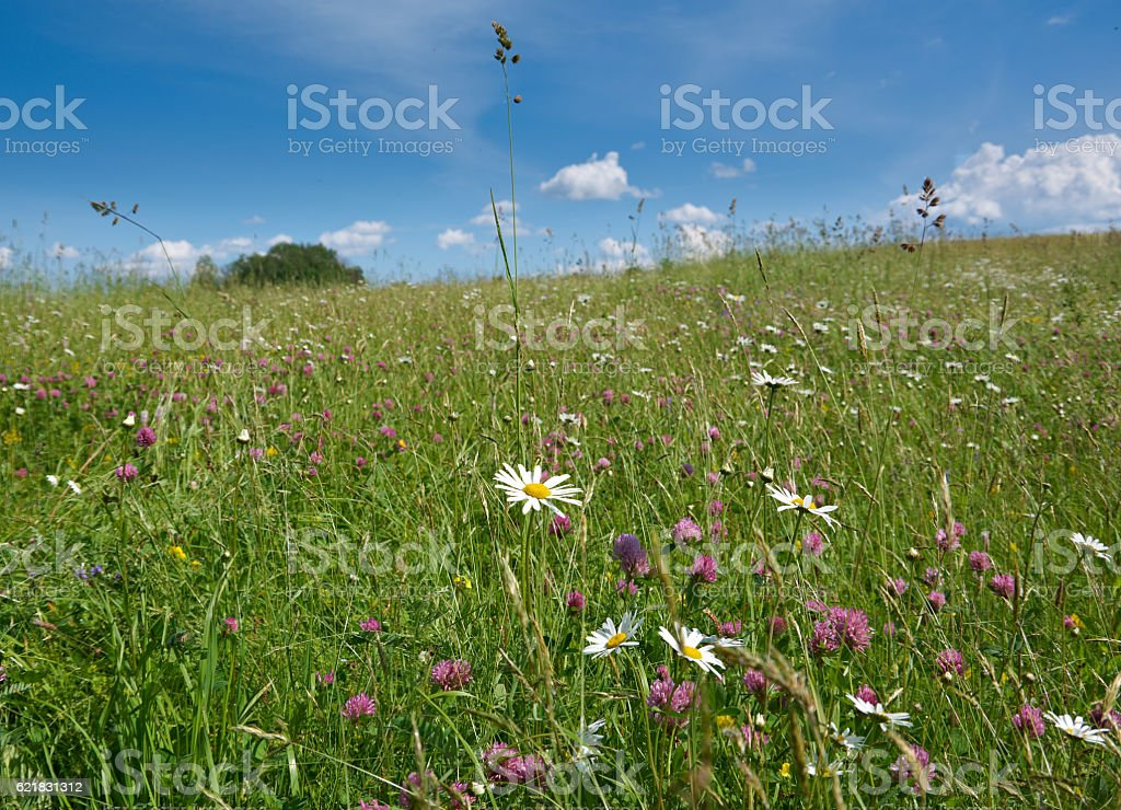 Russian  summer meadow stock photo