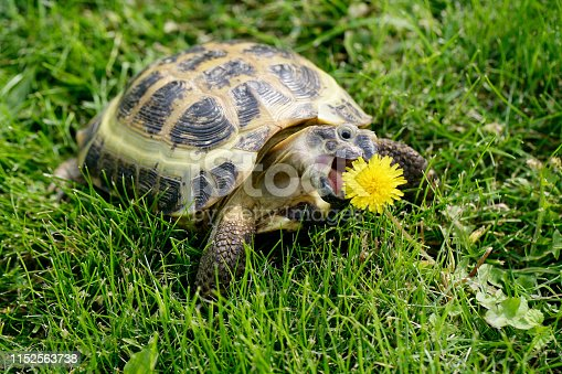 Russian (Central Asian) Tortoise on green grass eating a dandelion.