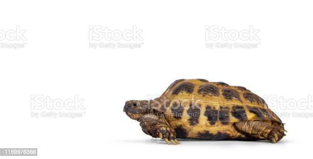 Russian tortoise on white background picture id1159976366?b=1&k=6&m=1159976366&s=612x612&h=5jrbbpvcbcbgpoxnwppx wsghir1fhqb38ef9lp8cvu=