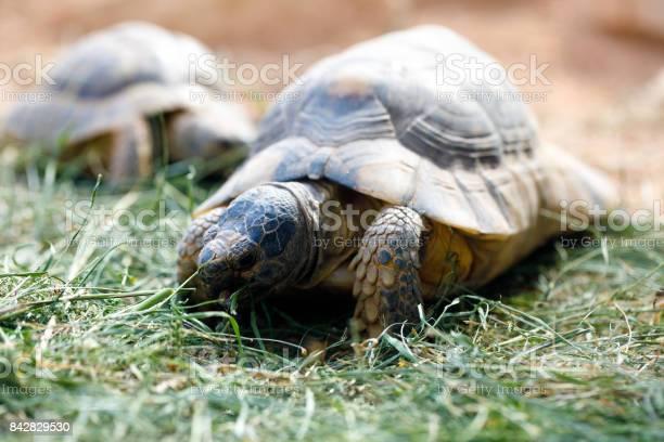 Russian tortoise picture id842829530?b=1&k=6&m=842829530&s=612x612&h=sdruey3h4z empqhocs9crdqhkuj4fk vcagijz0nku=